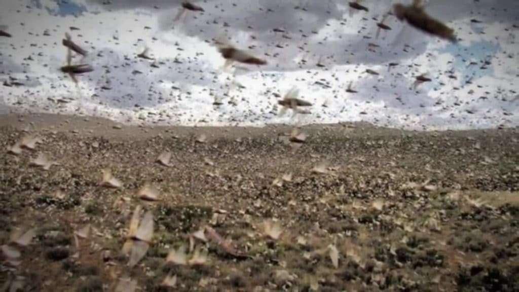 Israel Locust Plaques