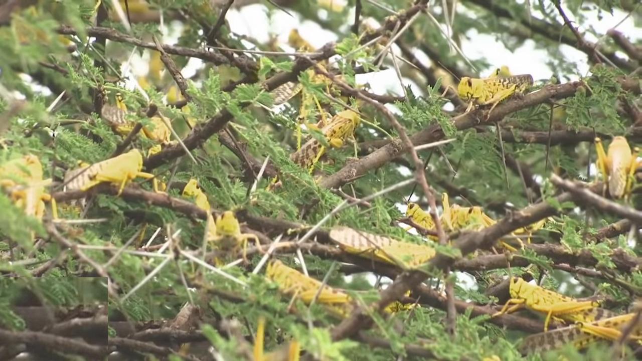 Yellow Locust3