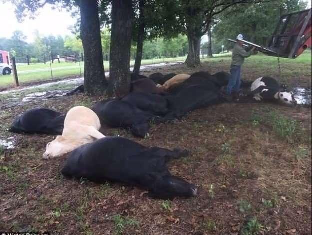 Dead Cows1